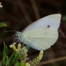Mariposa de Col